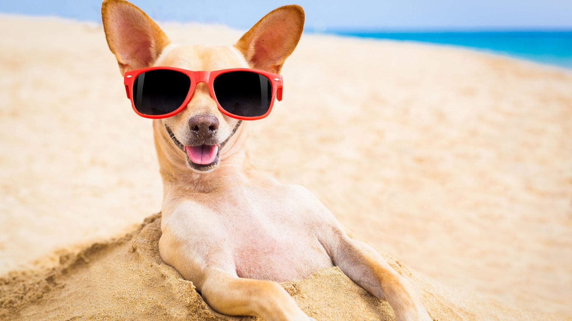 Chihuahua Dog Relaxing On The Beach With Sunglasses On